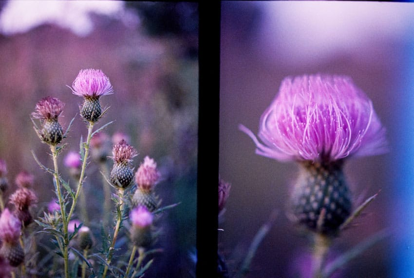 Floral closeup - Olympus Pen F Half Frame Film Camera Review by Jen Golay on Shoot It With Film