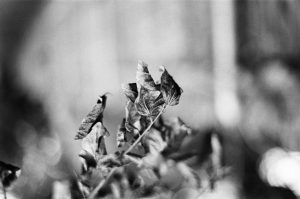 Black and white image of a plant - 5 Film Cameras Under 50 Dollars by Jennifer Stamps on Shoot It With Film