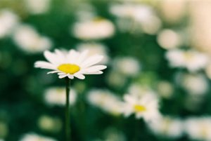 Close-up macro film photography of a daisy - Lensbaby Velvet 56 Lens Review by Jen Golay on Shoot It With Film