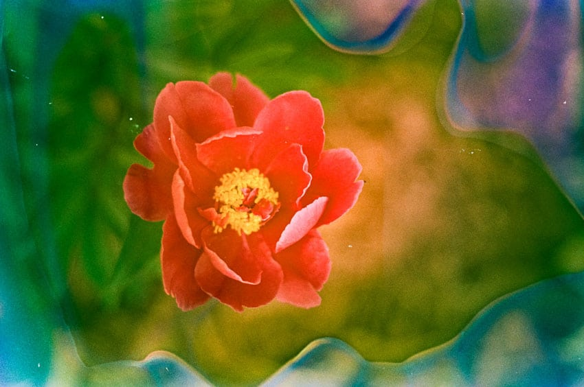 35mm Film Photography Soaked in Film Soup of a Flower - Interview with Amy Berge of Film Lab 135 on Shoot It With Film