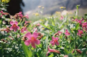 Small pink flowers growing on a mountainside photographed on 35mm film - Glacier National Park Travel Story by Jill Bridgeman on Shoot It With Film