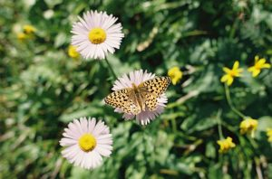 Small white flowers with a butterfly on one photographed on 35mm film - Glacier National Park Travel Story by Jill Bridgeman on Shoot It With Film