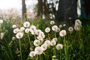 35mm film photography of dandelions - Impressions of Mother Nature by Ida Meadow on Shoot It With Film