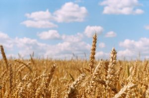 Wheat field on 35mm film - Eastern Europe Travel Story by Taylor Stoker on Shoot It With Film