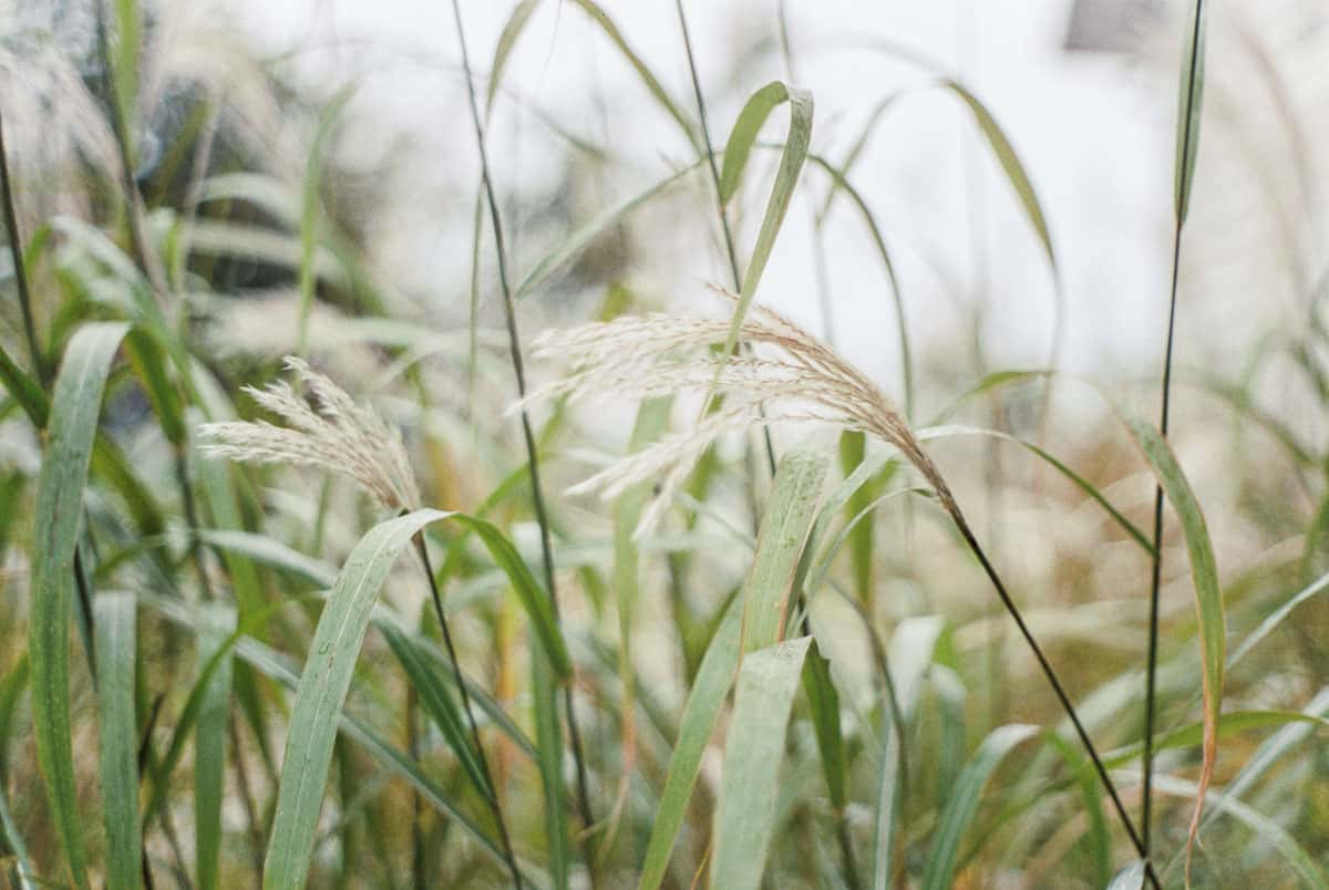 35mm film image of wheat grass - CineStill 50D Film Review by Samantha Stortecky on Shoot It With Film